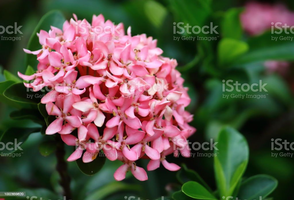 Beautiful pink spike flower fresh in natural stock photo more beautiful pink spike flower fresh in natural royalty free stock photo mightylinksfo
