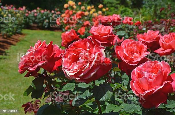 Beautiful pink summer roses picture id531278399?b=1&k=6&m=531278399&s=612x612&h=sjrktljoxriawczbppho4mml tdooo6sksro4bfilli=