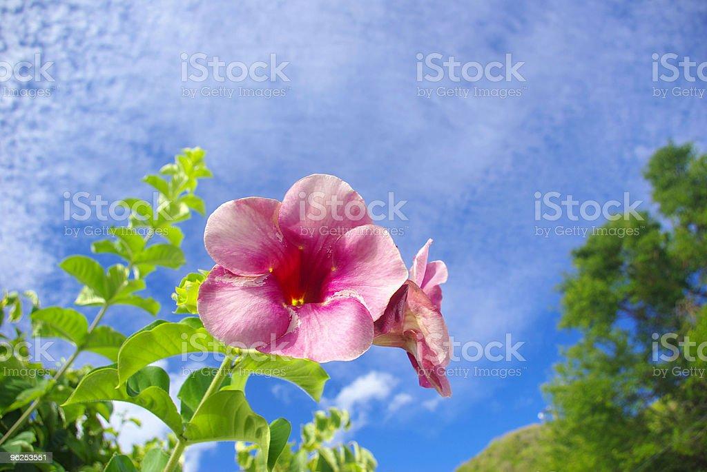 beautiful pink trumpet flower against sky - Royalty-free Alternative Medicine Stock Photo