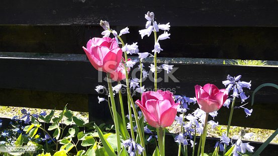 Pink tulips and purple bell flowers are blooming  in the sunny day with black wooden fence background