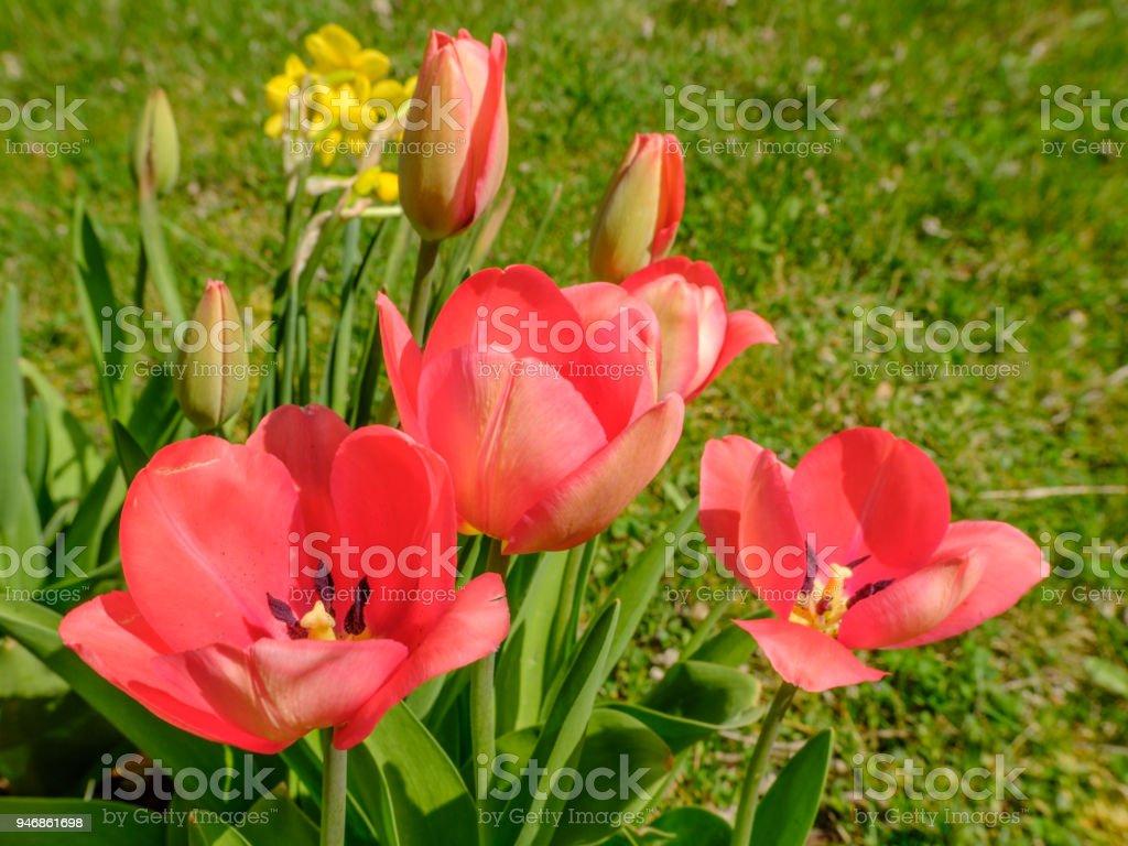 Beautiful pink tulips in flowerbed in spring