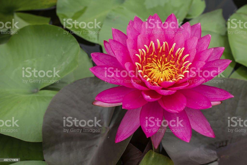beautiful pink waterlily stock photo