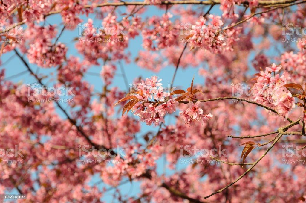 Schöne rosa wilde Himalaya Cherry Blossom in voller Blüte über blauen Himmel – Foto