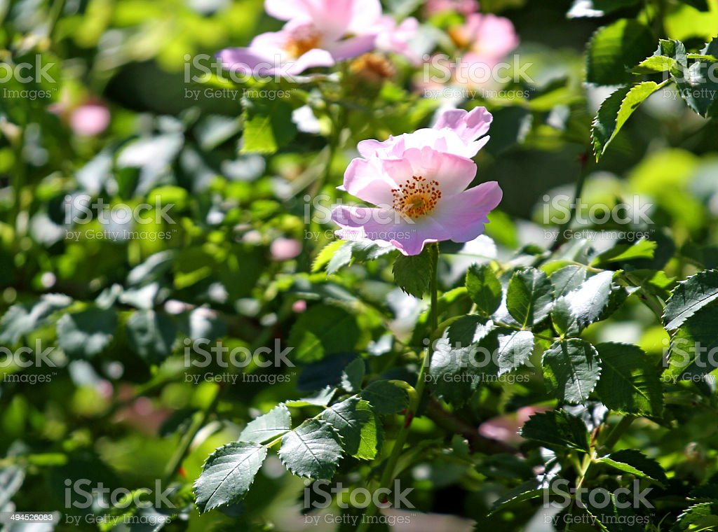 Beautiful pink wild roses in a bush of thorns stock photo more beautiful pink wild roses in a bush of thorns royalty free stock photo mightylinksfo