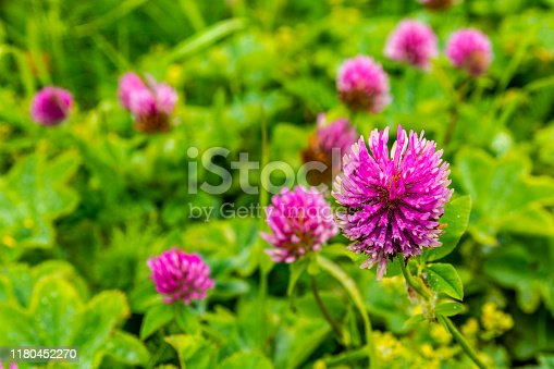 Beautiful pink-red color clover flowers - Trifolium pratense.