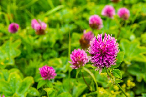 Güzel pembe-kırmızı renk yonca çiçekleri - Trifolium pratense. stok fotoğrafı