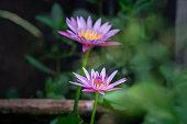 A very large beautiful Pink/Violet lotus or waterlily flower during it blooming in pond among greenery freshness environment. Natural background photo.