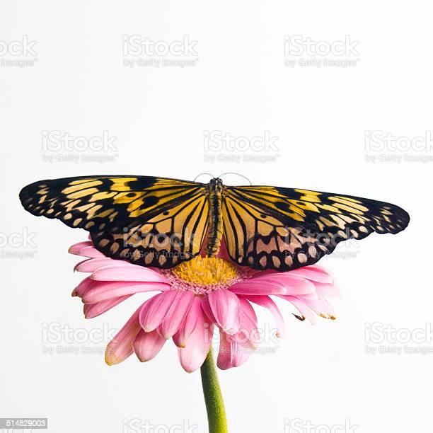 Beautiful plain tiger butterfly perching picture id514829003?b=1&k=6&m=514829003&s=612x612&h=dwmmhrk qfldcgfjvygpcicifm7vgmazl9gyjyqtc9m=