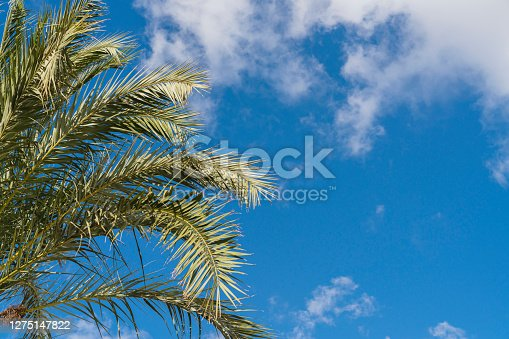 beautiful Plam tree with blue sky white cloud background
