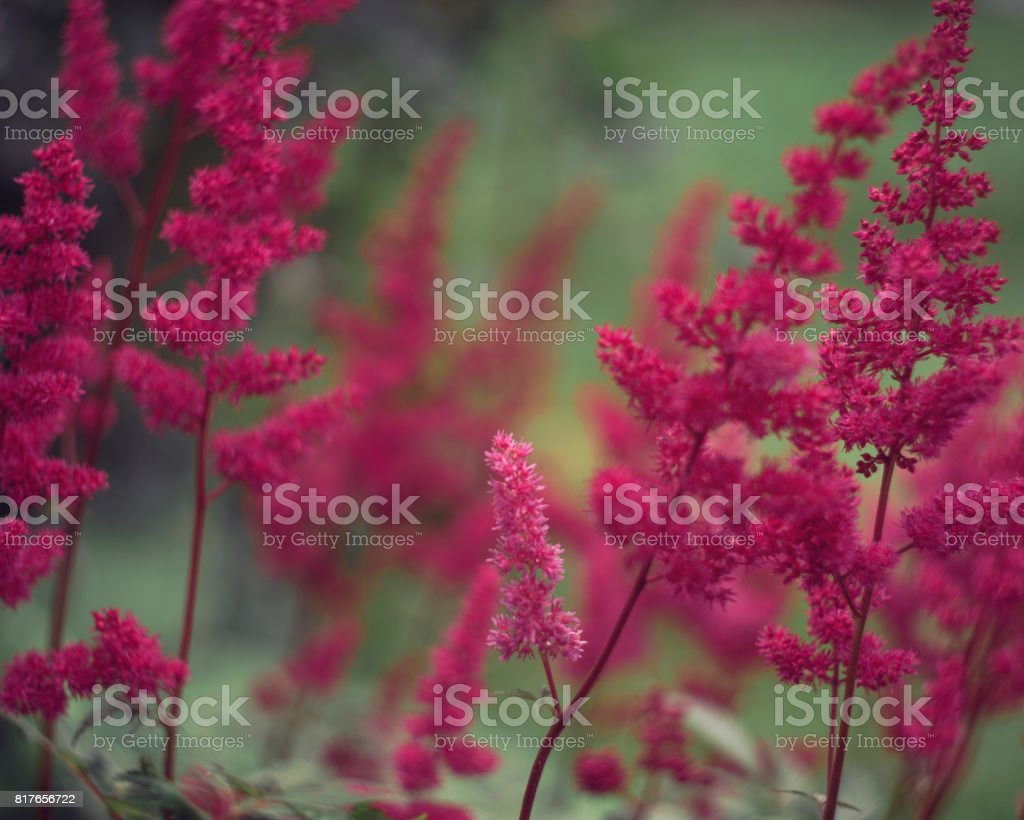 Beautiful plant of Astilbe blossoms in summer stock photo