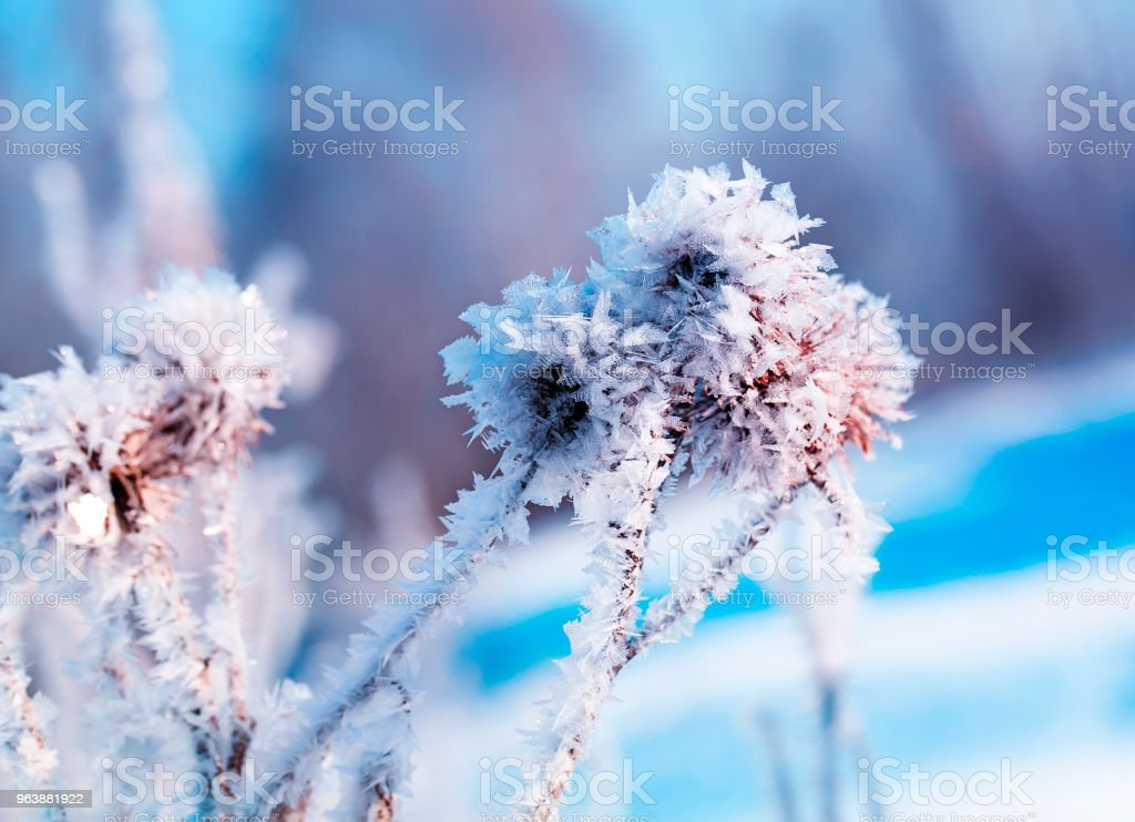 beautiful plant seeds burdock covered with white shiny crystals of frost in winter Christmas Park in delicate colors - Royalty-free Agricultural Field Stock Photo