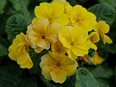 Close up shot of a bunch of yellow evening primroses in the garden