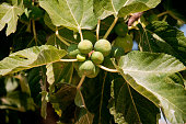 Beautiful plants of sweet and ripe figs