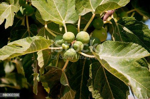 Beautiful Plants Of Sweet And Ripe Figs-foton och fler bilder på Basilika - Ört