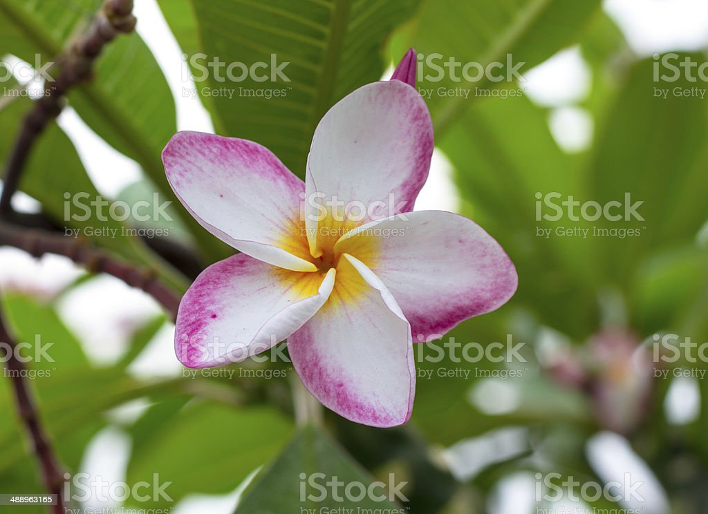 Beautiful Plumeria blooming in the garden royalty-free stock photo