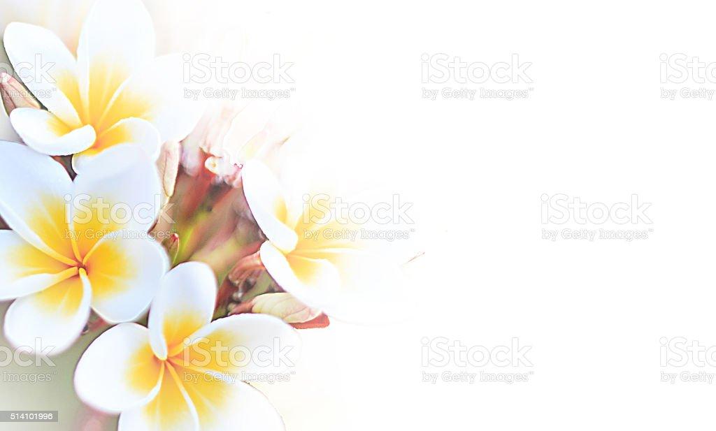 Beautiful plumeria flower soft background stock photo