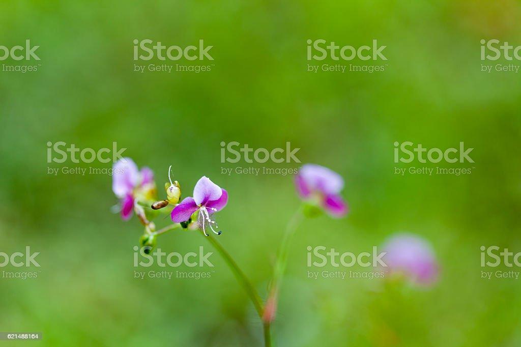 Beautiful poaceae grass flower. Lizenzfreies stock-foto