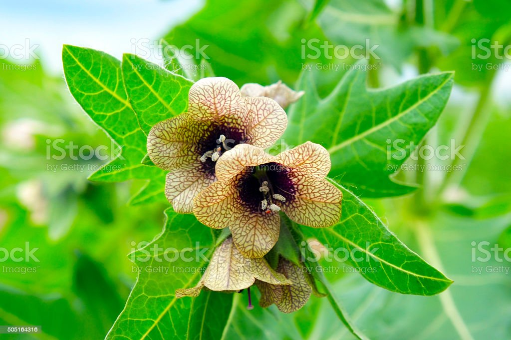 beautiful poisonous flower blooms with carved leaves stock photo