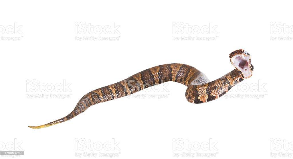 Beautiful poisonous snake  American Copperhead (Agkistrodon cont stock photo