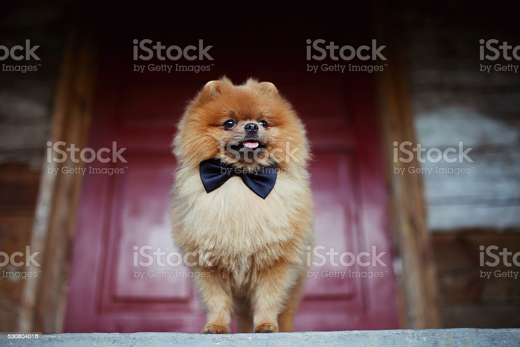 Good Pomeranian Canine Adorable Dog - beautiful-pomeranian-dog-serious-dog-near-door-cute-dog-picture-id530804016  Picture_32562  .com/photos/beautiful-pomeranian-dog-serious-dog-near-door-cute-dog-picture-id530804016