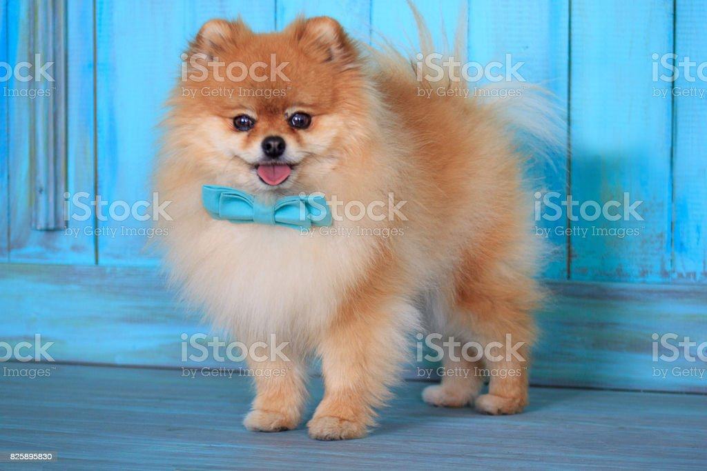 Beautiful pomeranian puppy stands near the door in a blue bow tie. royalty-free & Beautiful Pomeranian Puppy Stands Near The Door In A Blue Bow Tie ...