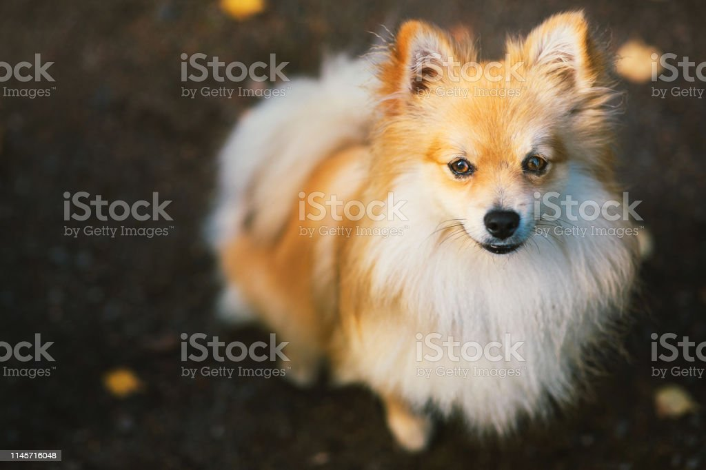 From above view at a beautiful pomeranian spitz orange color. Nice...