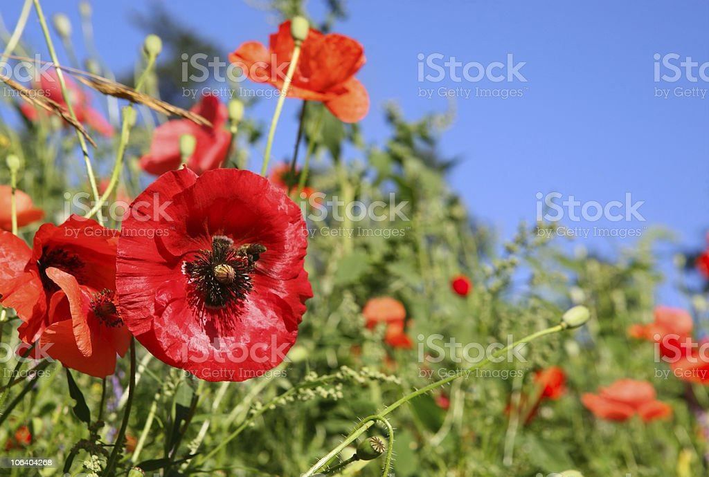 Beautiful Poppies field stock photo