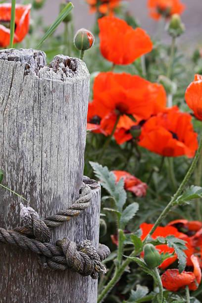 Beautiful Poppies stock photo
