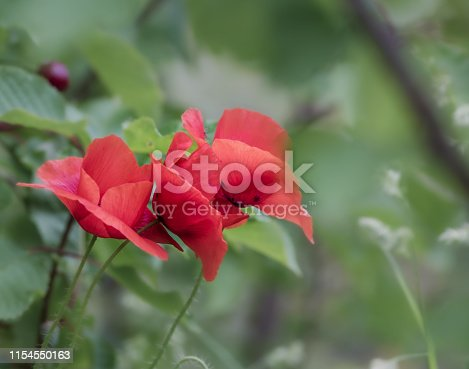 997750962 istock photo Beautiful poppy flowers with blurred nature background 1154550163