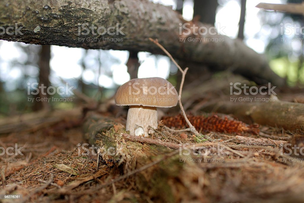 beautiful porcini cepe mushroom in the forest royalty-free stock photo