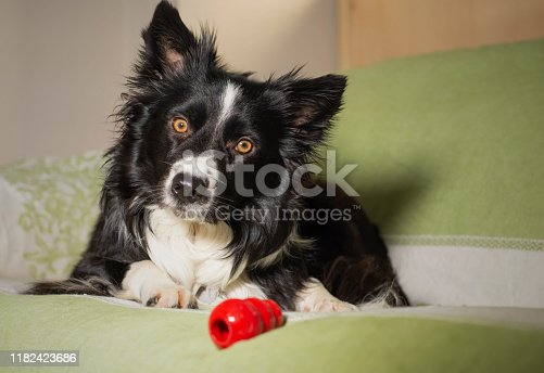 533229488 istock photo Beautiful portrait of a border collie puppy with his game on the couch 1182423686