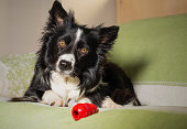 istock Beautiful portrait of a border collie puppy with his game on the couch 1182423686