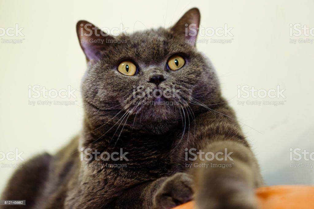 Beautiful portrait of a British cat gray color stock photo