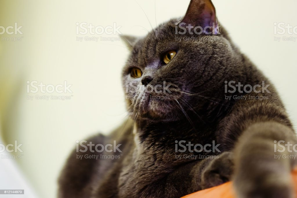 Beautiful portrait of a British cat gray color. The cat lies on the surface stock photo
