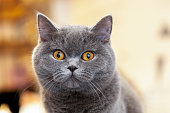 istock beautiful portrait of a British Shorthair lilac. the cat looks and waits. playful cat waiting for a toy. 1131871319