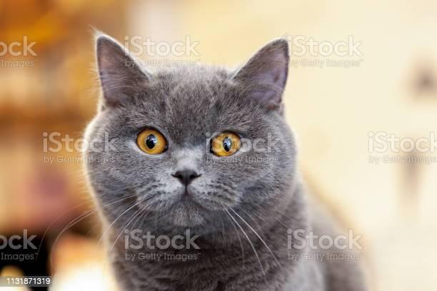 Beautiful portrait of a british shorthair lilac the cat looks and picture id1131871319?b=1&k=6&m=1131871319&s=612x612&h=po4ee24zoxrsuerzlg97llybiqkav7tal ztv4adinq=
