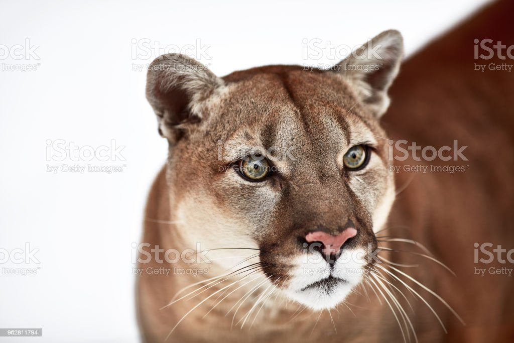 260c9a7f2229 Photo de stock de Beau Portrait Dun Cougar Canadiens Couguar Puma ...