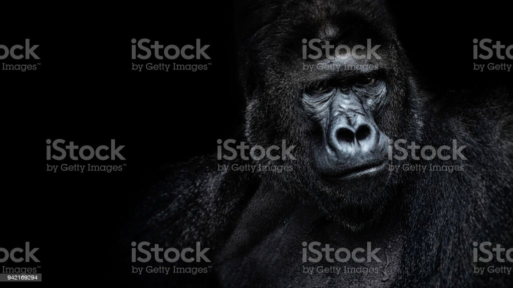 Beautiful Portrait of a Gorilla. Male gorilla on black background, severe silverback, anthropoid ape stock photo