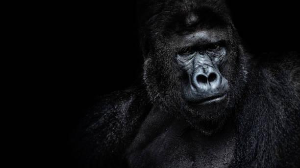 hermoso retrato de un gorila. gorila macho en fondo negro, severo silverback, simio antropoide - gorila fotografías e imágenes de stock