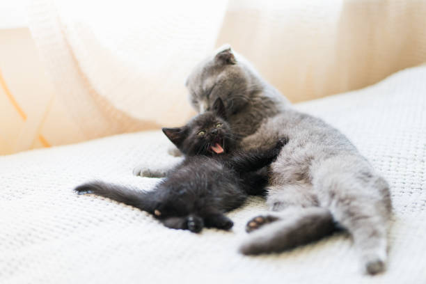 Beautiful portrait of a gray cat and kitten stock photo