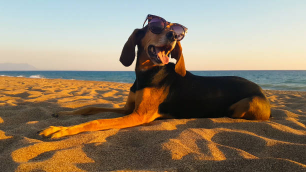 Beautiful portrait of a hunt dog wearing sunglasses at the beach against the sunset. stock photo