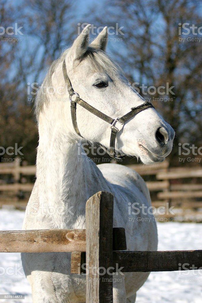 Beautiful portrait of a purebred gray horse in winterland stock photo
