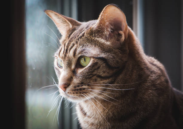 beautiful portrait of an ocicat cat with green eyes. - ocicat foto e immagini stock