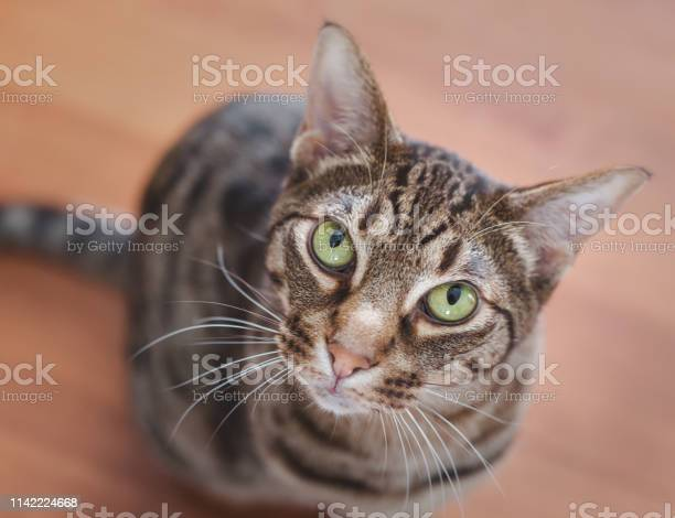 Beautiful portrait of an ocicat cat with green eyes picture id1142224668?b=1&k=6&m=1142224668&s=612x612&h=j3ergjaqhw5vgwp8 eyhkoddzdwhrmzd0ix9ibm9yyo=