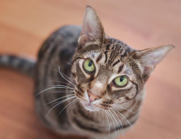 bellissimo ritratto di un gatto ocicat con gli occhi verdi. - ocicat foto e immagini stock