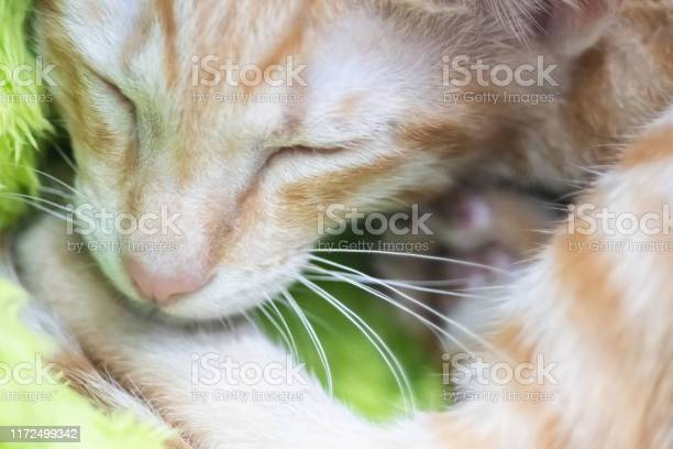 Beautiful portrait of brown or ginger cat face close up picture id1172499342?b=1&k=6&m=1172499342&s=612x612&h=afvp lwzbqj2cj71gol7cj5ngmuriyrmmizwcda2xey=