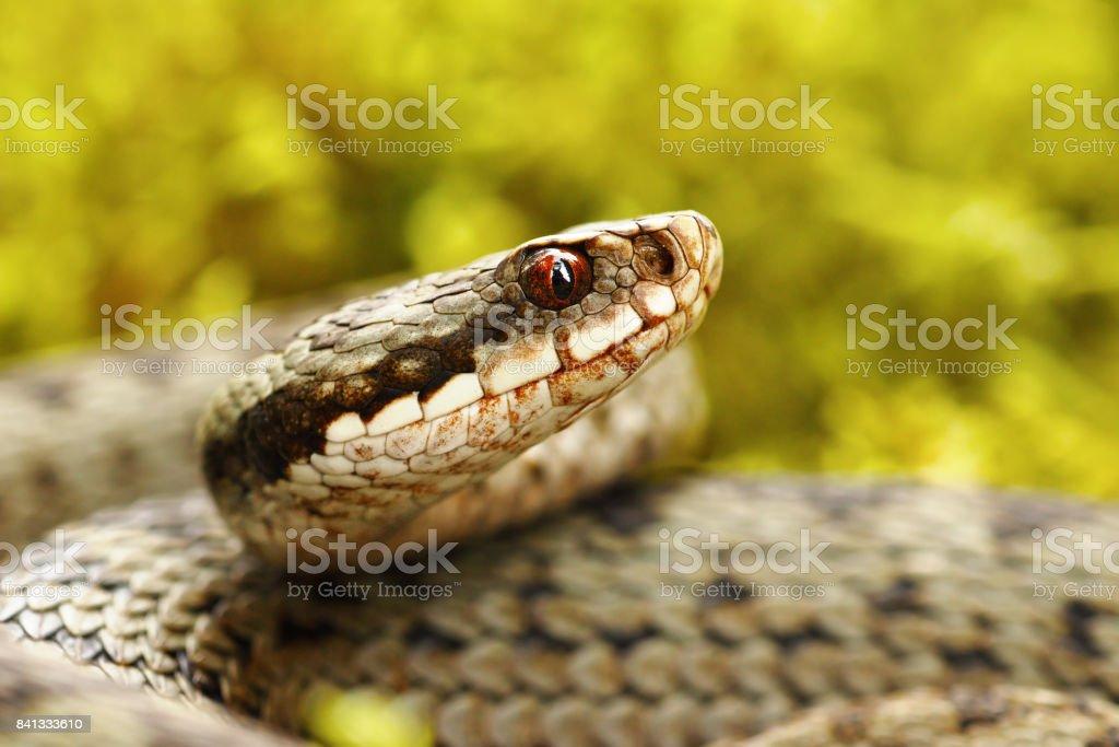 beautiful portrait of common european viper in the wild stock photo
