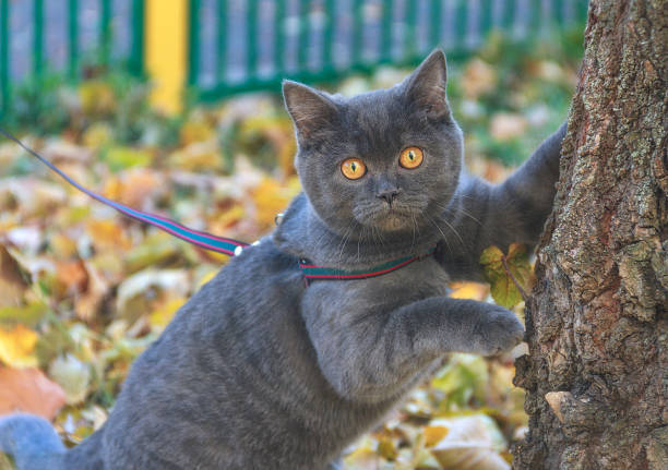 beautiful portrait of gray scottish cat on a leash walk. - cat leash stock photos and pictures