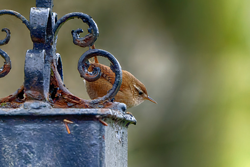 Beautiful portrait photograph of a cute wren on a wrought iron post