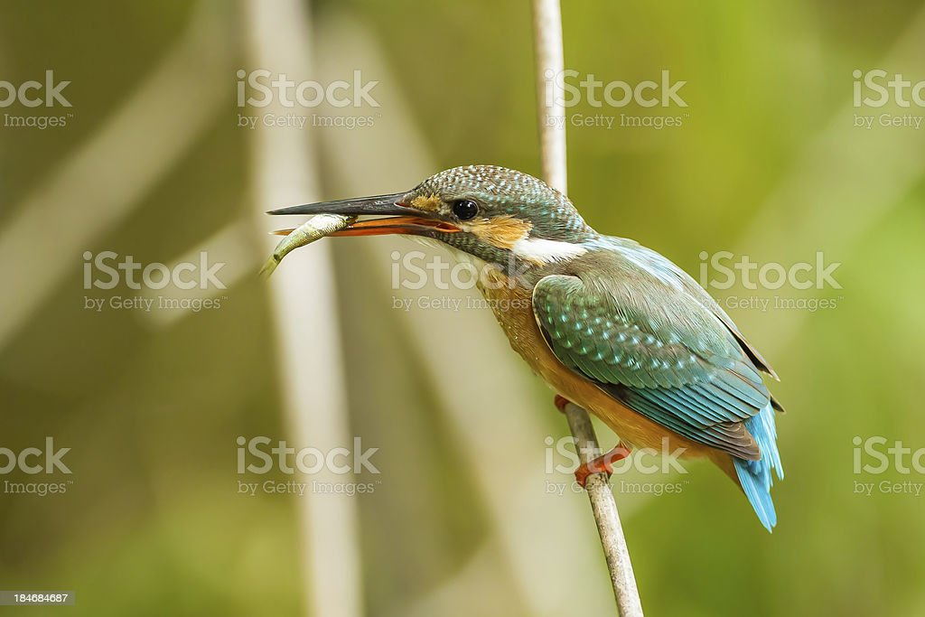 Beautiful position of Common Kingfisher royalty-free stock photo